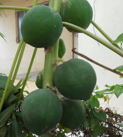 Papaya on a tree (Carica papaya)