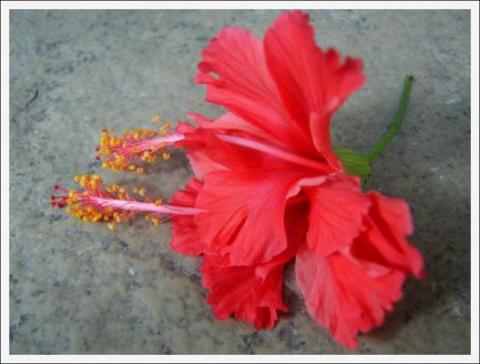 Indian Flower